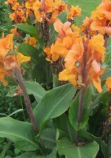 2 Canna lily Orange Peach yellow flowers Medium height Lily green bulb/rhizomes
