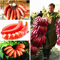 100 PCS Seeds Red Banana Bonsai Perennial Plants Milk Fruit Plants Garden NEW X