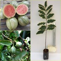 """Variegated guava live plant Unique with the sweetest fruit, 20"""" tall Rare"""