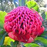 TELOPEA speciosissima NSW Waratah Seeds (N 18)