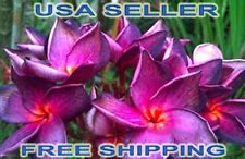 "5 Very Rare Beautiful ""S-1"" Plumeria/Frangipani Seeds Usa Seller/Free Shipping"