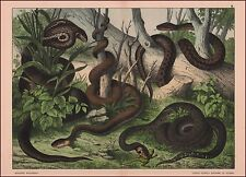 Cobra, False Coral, Grass, Smooth Snakes, antique Chromolithograph, print 1887