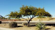 100 Graines Mimosa farnesiana 'Acacia farnesiana' – Sweet Acacia tree seeds