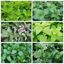 100 Mint Aromatic Herbs Seeds Perennial menthol Smell Taste Unpretentious Garden