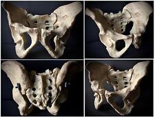 VINTAGE ANATOMICAL MODEL OF A HUMAN PELVIS PELVIC BONE RESIN CURIOSITY ODDITIES