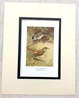 Antique Bird Print Blackcap Nightingale Ornithology Thorburn's Birds Ca. 1929