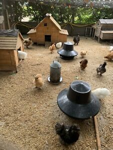 6 Mixed silkie hatching eggs