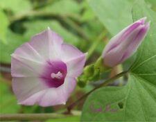 ipomoea Triloba - Little Bell Morning Glory - 12 seeds - Pink Littlebell Aiea