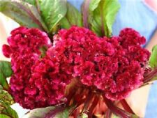 40+ CELOSIA CRISTATA TOREADOR  FLOWER SEEDS, COCKSCOMB, HEIRLOOM, LONG LASTING