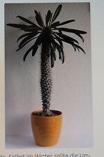 10 Samen Madagaskarpalme,Pachypodium lamerei,Palme,Sukkulente,#266