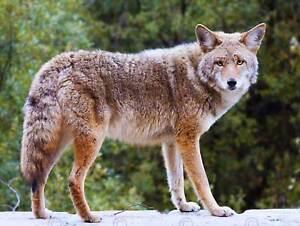 ANIMAL PHOTOGRAPHY COYOTE WILD DOG COOL FUR USA ART PRINT POSTER BB7671