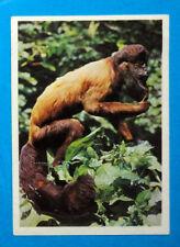 Figurina Panini-ANIMALI DI TUTTO IL MONDO 1965-n.43-CHIROPITECO-rec