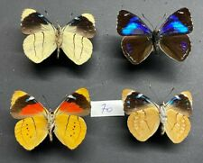 Nymphalidae 4 perisama sp  ? Mâles Pérou tingo maria mounted