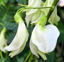 50 WHITE SESBANIA GRANDIFLORA SEED AGATTTI AQATI HUMMINGBIRD TREE MEDICINAL USE