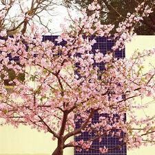 20 Japanese Flowering Cherry Bonsai Tree Seeds TT044
