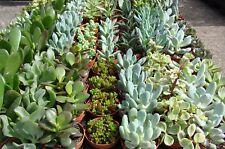10 x Different Succulents Collection House Plant