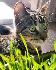Herbe à Chat prêt à planter