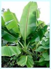 5 x Musa Sikkimensis banana seeds, hardy; banaan zaad winterhard.