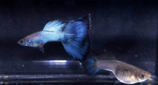 QUALITY GUPPY FISH JAPAN BLUE BLUETAIL 1PAIR  (1MALES+1FEMALE)