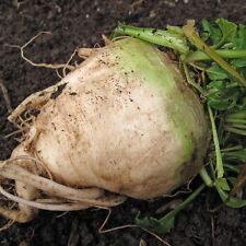 BEETROOT Sugar Beet Heirloom Seeds (V 209)