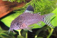 Spotted Cory Corydoras punctatus 3cm tropical fish Wild caught