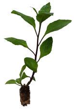 7 x Sambung nyawa pianta-foglio della vita-GYNURA procumbens Heil pianta
