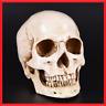 Human Skull Replica 1:1 Resin Model Realistic Retro Medical Art Teach Life Size