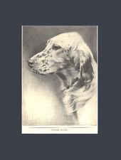 Rare English Setter Dog Art Print 1935 Drawing by Malcolm Nicholson