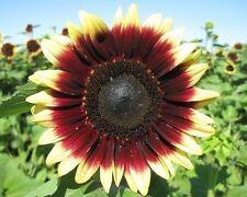 Sunflower Helianthus annuus Morning Sun Flower Seeds from Ukraine