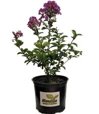 Purple Magic Dwarf Crape Myrtle -Live Plant - Full Gallon Pot