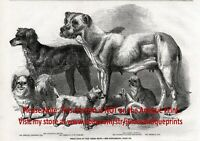 Dog Japanese Chin, Pug, Mastiff, Setter Champions, 1860s Antique Engraving Print