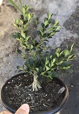 Live rooted-Japanese boxwood for mame shohin bonsai exposed roots