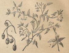 A4434 Calice petaloide nella Dulcamara - Incisione - Stampa Antica del 1887