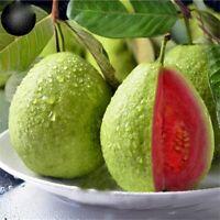 10+5 Seeds Guava Crystal Indonesia Psidium Guajava Jambu Kristal