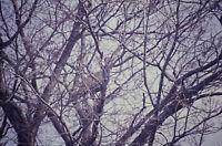 Photo Slide Turkey In Maple Tree New York Eldridge