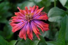 50+ Zinnia Whirligig Mix Flower Seeds Long Blooming Annual