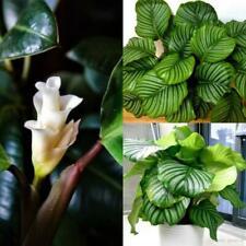 100pcs Calathea Crocata Flower Seeds Mixed Houseplant Home Garden Decor Bonsai