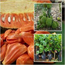"Red Jackfruit Tree plant grafted ""Suriya"" Tall 18"" jack tree, jakfruit From Thai"