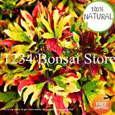 Bonsai Coleus Flowering Seeds Plants Potted Ponsai Balcony Beautiful 100pcs