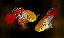 Pair of Nothobranchius guentheri «Zanzibar TAN 97-02» (Killifish)