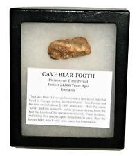 Cave Bear Tooth Fossil Extinct Pleistocene - w/ Display Box Mdb #14882 12o