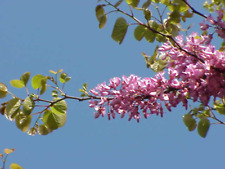 Red Bud Tree Seeds More than One Dozen
