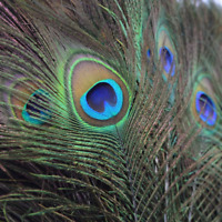 NEW 20Pcs lots Natural  Peacock Tail Eyes Feathers 10-12 Inches/about 23-30cm US