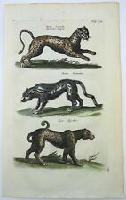 1657 Leopard Panther Tiger - Matt. MERIAN Folio Handcolored Engraving