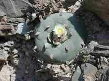 Lophophora diffusa, 50 Samen, keimfähiges Saatgut (Peyote)
