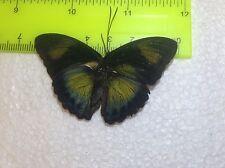 TOG15 A+/ A  Euphaedra ............. Forester Papilio