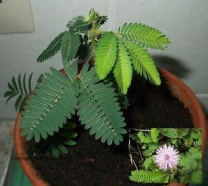 Süßer Duft / Samen Echte Mimose / Balkon - & Zimmerpflanze !