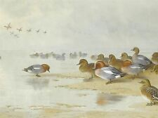 ART PRINT POSTER PAINTING BIRDS DUCKS THORBURN WIGEON TEAL BEACH NOFL0739