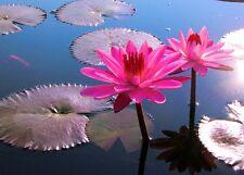 Rosa Seerose für Aquarium, Zimmerbrunnen, Wasserschale oder Gartenteich // Samen