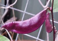 Purple Hyacinth Bean LONG - High Yield & Very Ornamental Variety